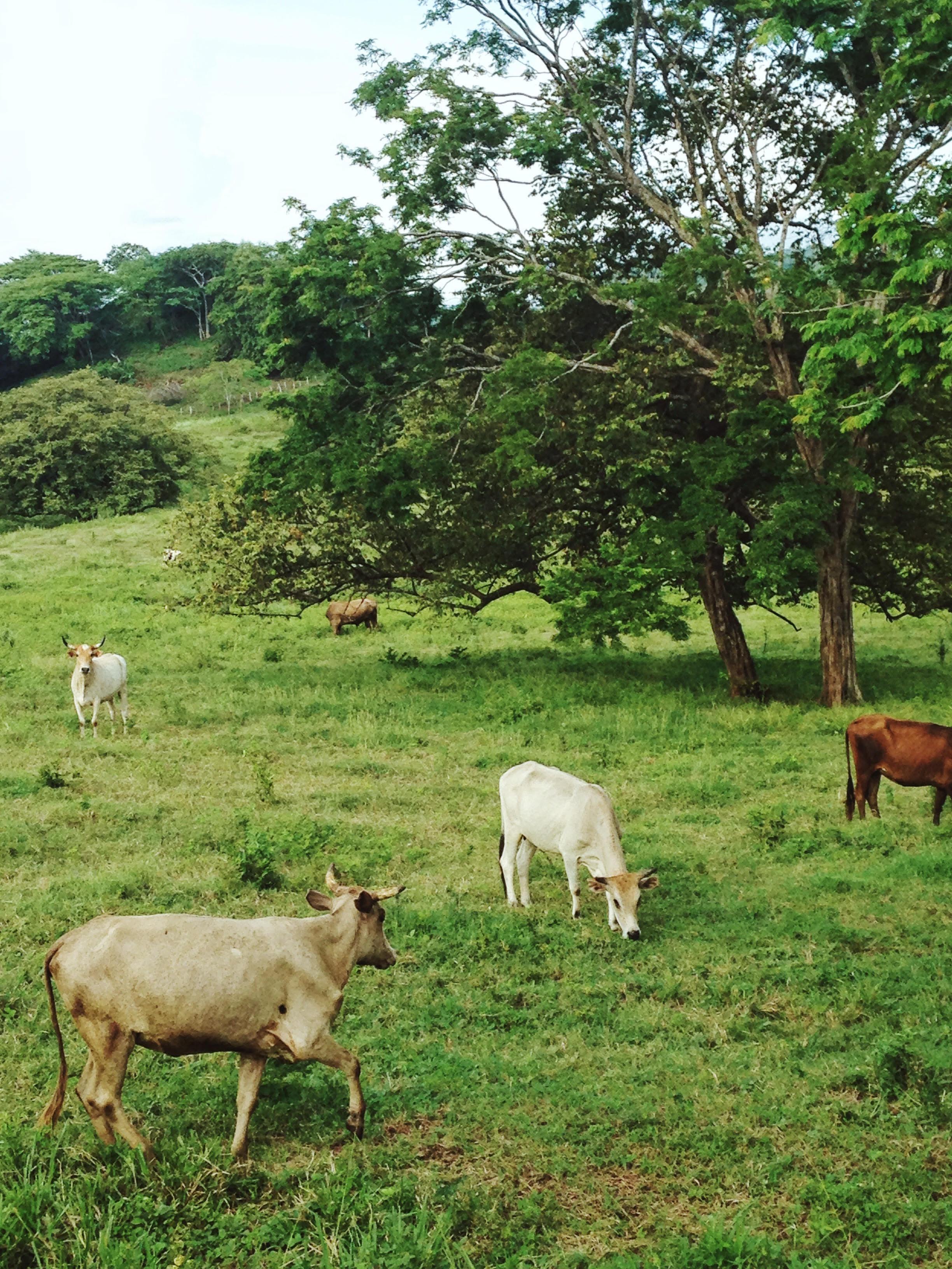 cows_costarica
